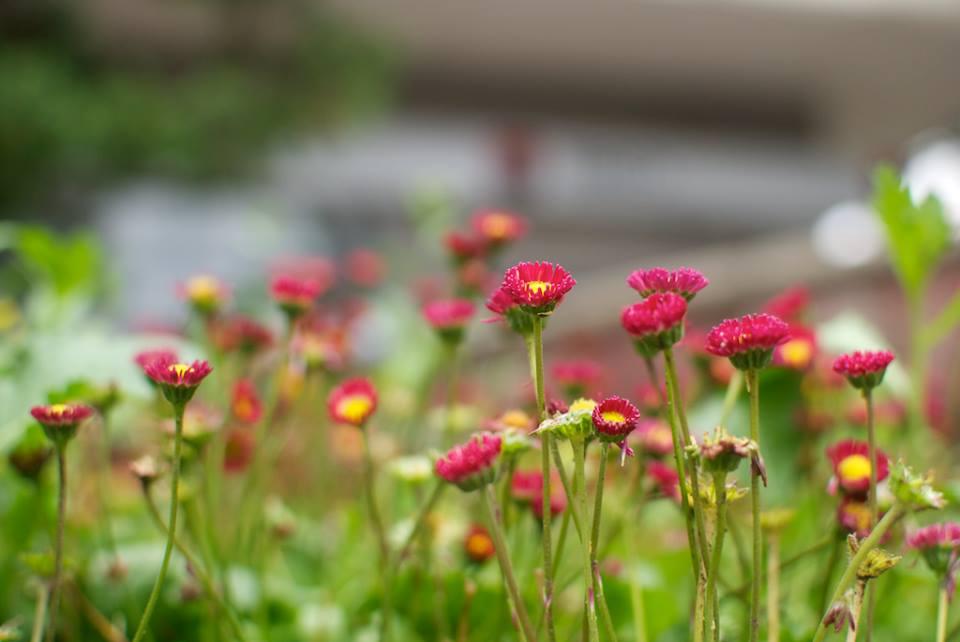 Flori comestibile la îndemână